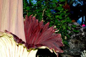 Amorphophallus flower - Edmonton Horticultural Society
