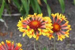 Blanket Flower - Edmonton Horticultural Society