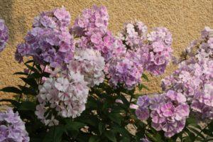 Garden Phlox - Edmonton Horticultural Society