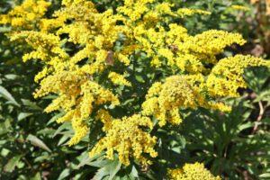 Goldenrod - Edmonton Horticultural Society