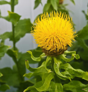 Noxious Weed - Edmonton Horticultural Society