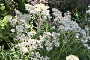 Pearly Everlasting - Edmonton Horticultural Society
