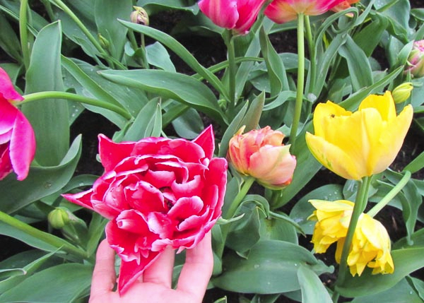 Peony Flowered Tulips - Edmonton Horticultural Society