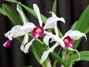 Orchid Species Preservation Foundation Annual Orchid Show @ Salisbury Greenhouse | Sherwood Park | Alberta | Canada