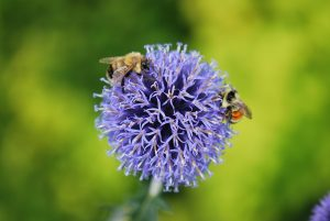 EHS Niche Talk: Solitary Bees and How to House Them with Hal Hopkins @ Edmonton Horticultural Society Office | Edmonton | Alberta | Canada