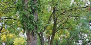 Heritage Tree Tour @ University of Alberta Campus | Edmonton | Alberta | Canada
